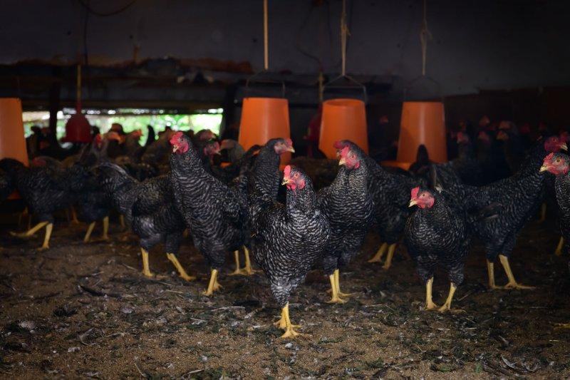 天城軍鶏の鶏舎
