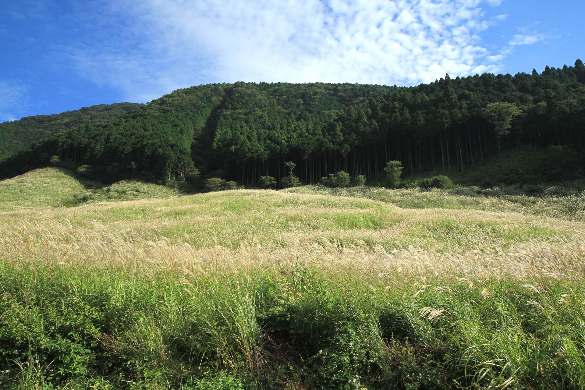 仙石原すすき草原の野焼きが今年も実施されます!